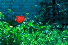 Fiore rosso del tulipano dietro le barre fotografia stock libera da diritti