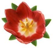 Fiore rosso del tulipano Fondo isolato bianco con il percorso di ritaglio closeup Nessun ombre Per il disegno Immagine Stock Libera da Diritti