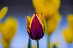 Fiore rosso del tulipano su un fondo vago dei fiori gialli Immagini Stock