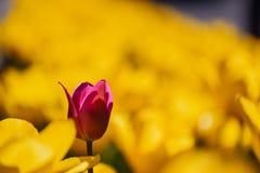 Fiore rosso del tulipano su un fondo vago dei fiori gialli Immagini Stock Libere da Diritti