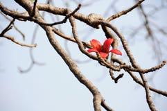 Fiore rosso dell'albero del cotone di seta Fotografia Stock Libera da Diritti