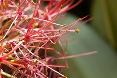 Fiore rosso dell'allium Fotografia Stock