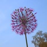 Fiore rosso dell'allium Fotografie Stock Libere da Diritti