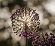Fiore rosso dell'allium Fotografia Stock Libera da Diritti