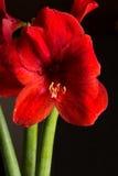 Fiore rosso dell'amarillide su fondo nero Hortorum di hippeastrum Fotografia Stock