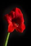 Fiore rosso dell'amarillide su fondo nero Hortorum di hippeastrum Fotografia Stock Libera da Diritti