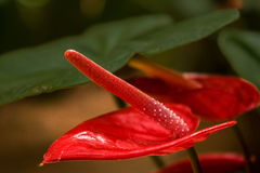 Fiore rosso dell'anturio Fotografia Stock Libera da Diritti