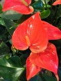 Fiore rosso dell'anturio o fiore dell'anturio della treccia in giardino fotografie stock