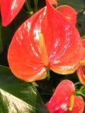 Fiore rosso dell'anturio o fiore dell'anturio della treccia in giardino fotografia stock libera da diritti