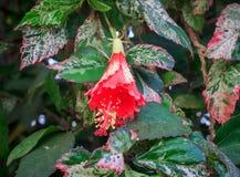 Fiore rosso dell'ibisco Immagini Stock