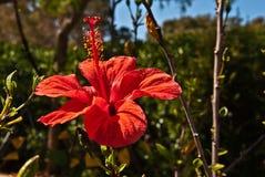 Fiore rosso dell'ibisco Fotografia Stock Libera da Diritti