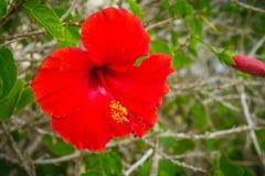 Grande fiore rosso dell 39 ibisco fotografia stock immagine for Ibisco rosso