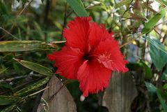 Fiore rosso dell'ibisco Fotografie Stock