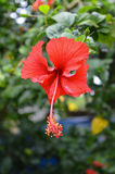 Fiore rosso dell'ibisco Immagine Stock Libera da Diritti