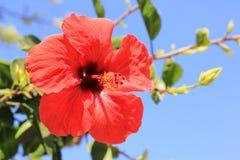 Fiore rosso dell'ibisco cinese Fotografia Stock
