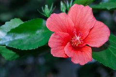 Fiore rosso dell'ibisco in giardino floreale Immagine Stock
