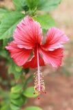 Fiore rosso dell'ibisco - hibiscus rosa sinensis Fotografia Stock
