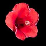 Fiore rosso dell'ibisco su un fondo nero Immagini Stock