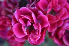 Fiore rosso della begonia fotografia stock libera da diritti