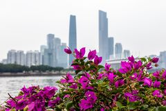 Fiore rosso della buganvillea Un grande cespuglio si sviluppa sull'argine di grande città Costruzioni alte della città immagine stock libera da diritti