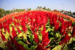 Fiore rosso della cresta di gallo nel giardino Immagini Stock