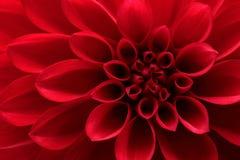 Fiore rosso della dalia Immagine Stock Libera da Diritti