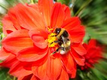 Fiore rosso della dalia Fotografia Stock
