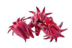 Fiore rosso della frutta di sabdariffa di Roselle Hibiscus su fondo bianco Immagini Stock Libere da Diritti