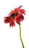 Fiore rosso della gerbera Fotografie Stock