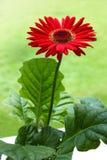 Fiore rosso della margherita del Gerbera Fotografia Stock Libera da Diritti