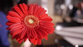 Fiore rosso della margherita della gerbera in sole luminoso Fotografie Stock Libere da Diritti
