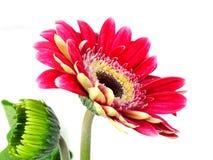 Fiore rosso della margherita della gerbera su fondo bianco fotografie stock libere da diritti
