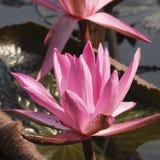 Fiore rosso della ninfea immagini stock libere da diritti