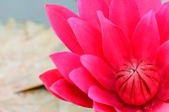 Fiore rosso della ninfea Fotografia Stock