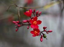 Fiore rosso della pesca in piena fioritura fotografia stock