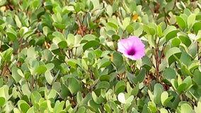 Fiore rosso della petunia archivi video