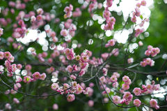 Fiore rosso della prugna Immagini Stock