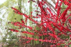 Fiore rosso della prugna Fotografia Stock Libera da Diritti