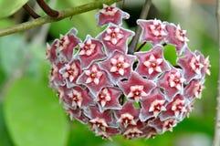 Fiore rosso della stella della parte superiore Immagini Stock