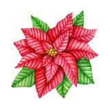 Fiore rosso della stella di Natale Illustrazione dell'acquerello Fotografie Stock
