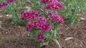 Fiore rosso delle azalee come rododendro stock footage
