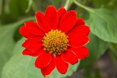 Fiore rosso dello Zinnia in giardino Immagini Stock Libere da Diritti