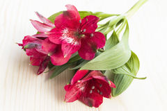 Fiore rosso di alstroemeria Immagini Stock Libere da Diritti