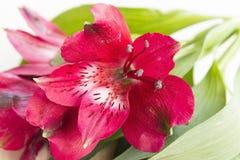 Fiore rosso di alstroemeria Immagini Stock