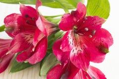 Fiore rosso di alstroemeria Fotografia Stock Libera da Diritti