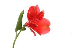 Fiore rosso di alstroemeria Fotografie Stock Libere da Diritti