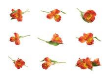 Fiore rosso di Alstroemeria isolato Immagini Stock Libere da Diritti