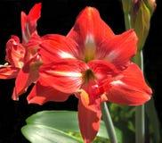 Fiore rosso di amarillis Fotografie Stock Libere da Diritti