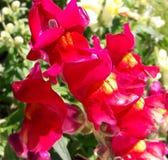 Fiore rosso di antirrino in confine del giardino Fotografie Stock Libere da Diritti