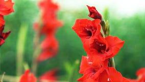 fiore rosso in fiore di //beautiful del giardino immagine stock